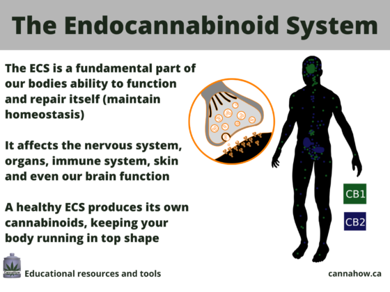 Higher Limits: An Introduction to the Endocannabinoid System